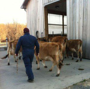 Cows coming in for milking at P.A. Bowen Farmstead