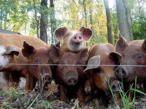 Young pigs